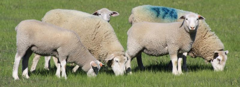 maternal-ewes-and-lambs